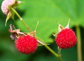 Thimbleberry Main Product Image
