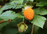 Salmonberry Main Product Image