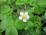 Woodland Strawberry flower.  By AnRo0002 - Own work, CC0, https://commons.wikimedia.org/w/index.php?curid=25919799