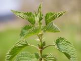 Common Nettle leaves