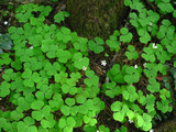 Redwood Sorrel patch.  CC BY 2.5, https://commons.wikimedia.org/w/index.php?curid=907870