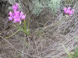 Hooker's Onion vines.  By Matt Lavin - Allium acuminatum, https://www.flickr.com/photos/plant_diversity/, https://creativecommons.org/licenses/by-sa/2.0/