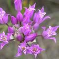 Hooker's Onion flower