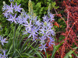 Great Camas flowers.  By F. D. Richards - Lavender Blue Camassia 2014, https://www.flickr.com/photos/50697352@N00/, https://creativecommons.org/licenses/by-sa/2.0/
