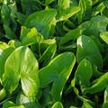 Indian Potato leaves