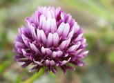 Springbank Clover Main Product Image