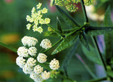 Water Parsnip Main Product Image