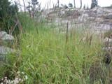 Wild Rye bush.  By Matt Lavin - Elymus glaucus - https://www.flickr.com/photos/plant_diversity/, https://creativecommons.org/licenses/by/2.0/