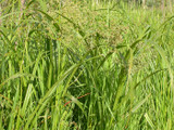 Panicled Bulrush plants.  By Matt Lavin, https://www.flickr.com/photos/plant_diversity/, https://creativecommons.org/licenses/by/2.0/