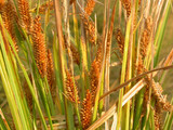 Northwest Territory Sedge grain.  By Matt Lavin - Carex utriculataUploaded, CC BY-SA 2.0, https://commons.wikimedia.org/w/index.php?curid=25133424