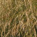 Slender Hairgrass