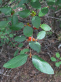 Buffaloberry leaves.  By Robert Flogaus-Faust - Own work, CC BY 3.0, https://commons.wikimedia.org/w/index.php?curid=18431345