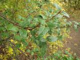 Buffaloberry bush with green leaves.  By Matt Lavin from Bozeman, Montana, USA - Shepherdia canadensisUploaded, CC BY-SA 2.0, https://commons.wikimedia.org/w/index.php?curid=22749986.jpg