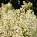 Snowbrush Ceanothus
