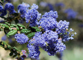 Blue Blossom Ceanothus Main Product Image