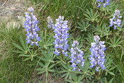 Lupine flowers.  By Walter Siegmund (talk) - Own work, CC BY-SA 3.0, https://commons.wikimedia.org/w/index.php?curid=4592853