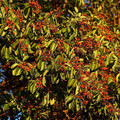 Pacific Madrone