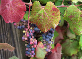 California Wild Grape Main Product Image