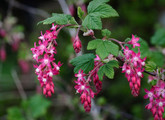 Red-Flowering Currant Main Product Image
