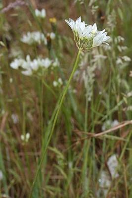 Fool's Onion shrub.  By Walter Siegmund (talk) - Own work, CC BY-SA 3.0, https://commons.wikimedia.org/w/index.php?curid=6991817