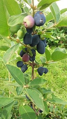 Honeyberry fruit bunch.  Hansicanada - Own work, CC BY-SA 4.0