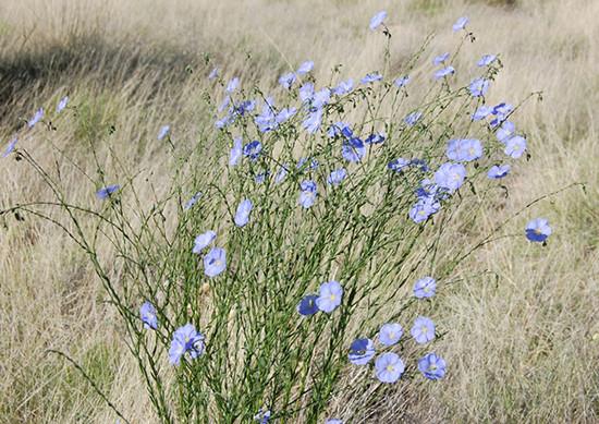 Wild Blue Flax shrub.  https://commons.wikimedia.org/wiki/User:Skoch3  CC BY-SA 3.0