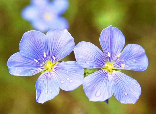 Wild Blue Flax Main Product Image