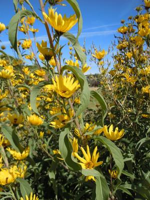 Maximillian Sunflower patch 2. Credit: Matt Lavin