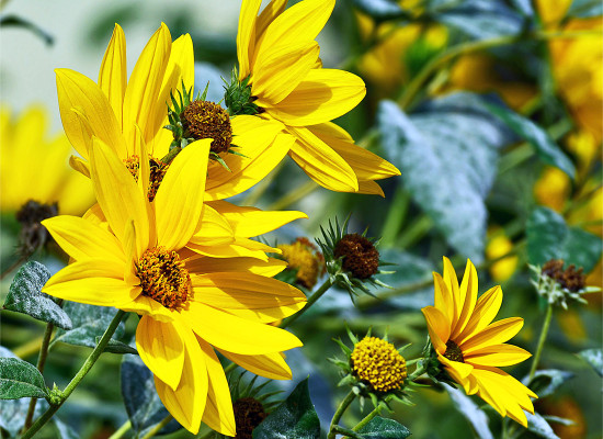 Maximillian Sunflower Main Product Image