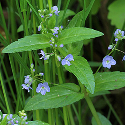 American Speedwell product icon