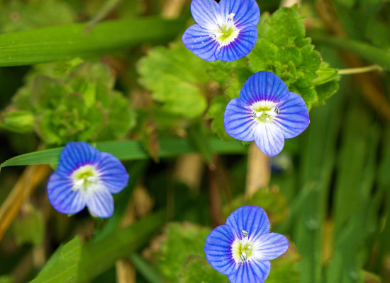 American Speedwell Main Product Image