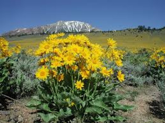 Arrowleaf Balsamroot plant with mountains