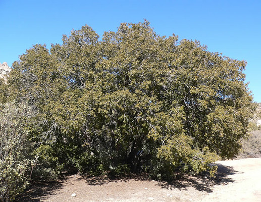 Canyon Live Oak tree.  By Stan Shebs, CC BY-SA 3.0, https://commons.wikimedia.org/w/index.php?curid=5973271