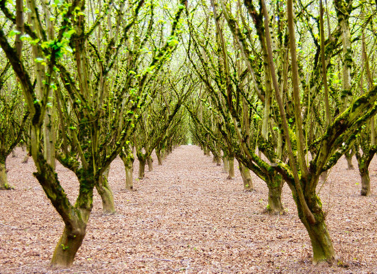 California  Hazelnut in an orchard