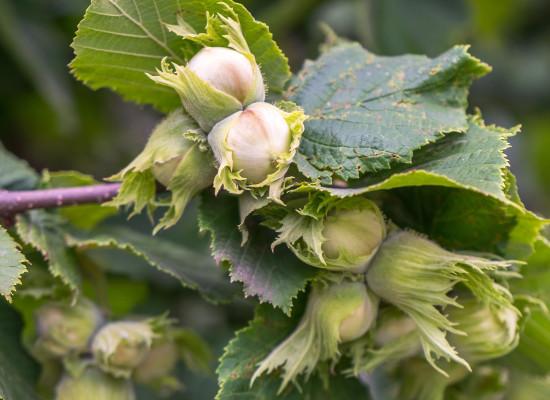 California Hazelnut Main Product Image