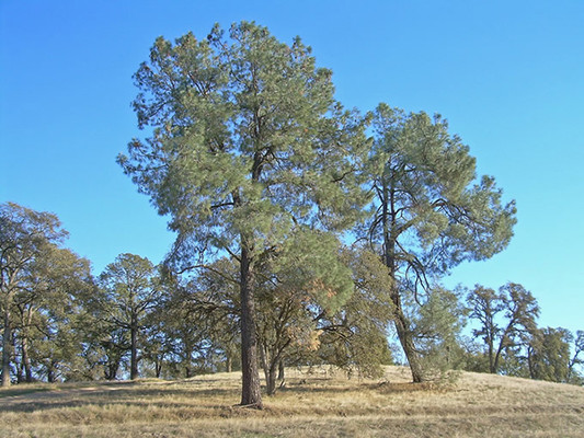 California Foothill Pine trees.  By Roarofthefour at Flickr - Flickr, CC BY-SA 2.0, https://commons.wikimedia.org/w/index.php?curid=5967506