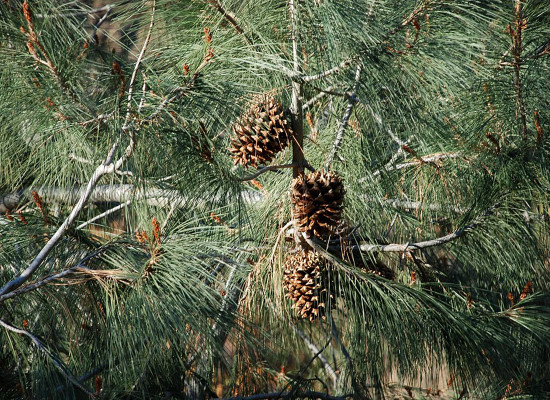 California Foothill Pine Main Product Image