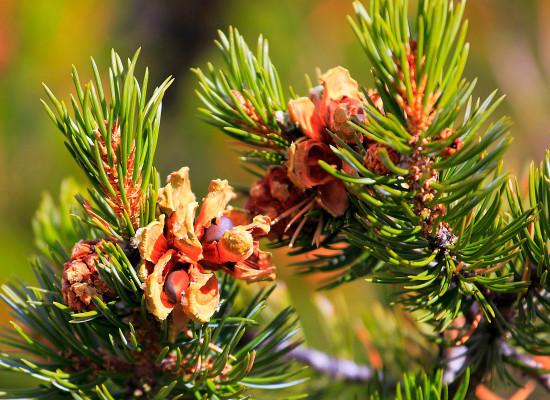 Pinyon Pine Main Product Image