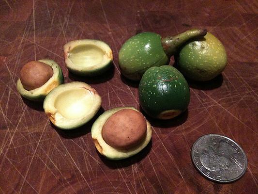 California Bay Laurel produce