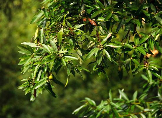 California Bay Laurel Main Product Image