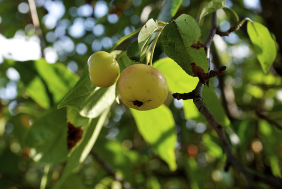 Pacific Crabapple fruit.  By Ronincmc - Own work, CC BY-SA 4.0, https_commons.wikimedia.org_w_index.php_curid=53346973
