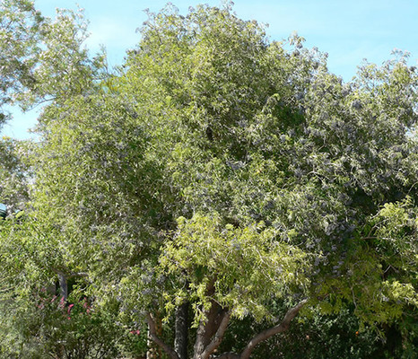 Blue Elderberry tree.  By Stan Shebs, CC BY-SA 3.0, https_commons.wikimedia.org_w_index.php_curid=1953423