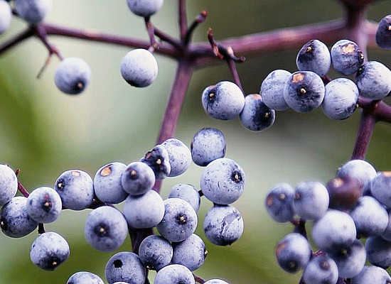 Blue Elderberry Main Product Image