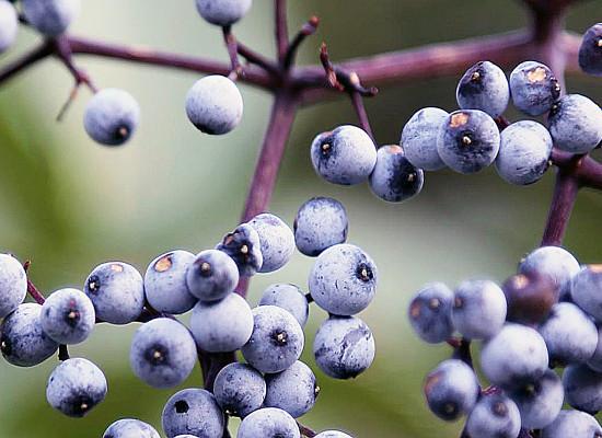 Blue Elderberry Main Product Image