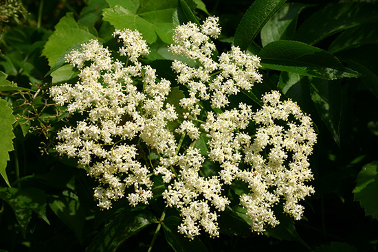 Black Elderberry flowers.  By I, SB Johnny, CC BY-SA 3.0, https_commons.wikimedia.org_w_index.php_curid=2374749.jpeg