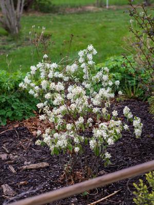 Saskatoon Serviceberry bush.  By F. D. Richards - Amelanchier alnifolia 'Regent', 2015, https://www.flickr.com/photos/50697352@N00/, https://creativecommons.org/licenses/by-sa/2.0/