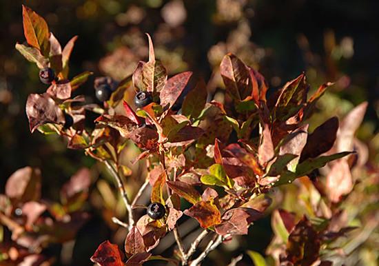 Black Huckleberry Foliage