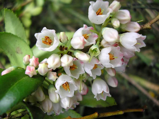 Evergreen Huckleberry flowers in a bunch.  By Christine Majul - Huckleberry Flowers in A bunch, https://www.flickr.com/photos/kitkaphotogirl/, https://creativecommons.org/licenses/by-sa/2.0/