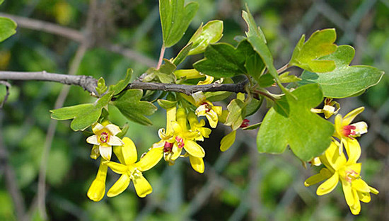 Golden Currant Flowers Foliage