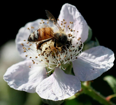 Pacific Blackberry Flower.  By Scott Wilson - Rubus ursinus (California blackberry)_8202, https://www.flickr.com/photos/scott361/, https://creativecommons.org/licenses/by-sa/2.0/
